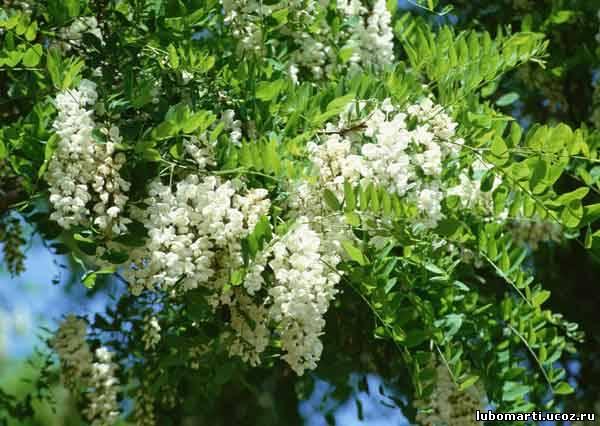 Аптечное цветы акации сушеные